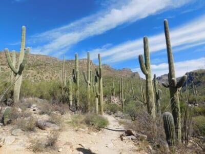 メキシコの乾いた大地と複数の高さのあるサボテン