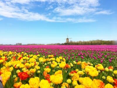 オランダのチューリップ畑と水車